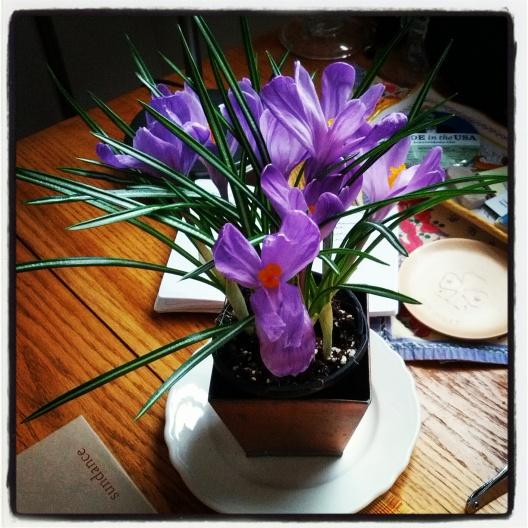Blooming crocus! February 23, 2013