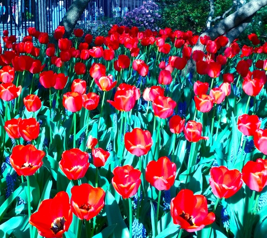 Tulips, April 25, 2013