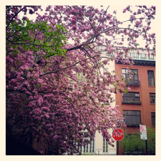 Pink blossoms, gray day, April 29, 2013
