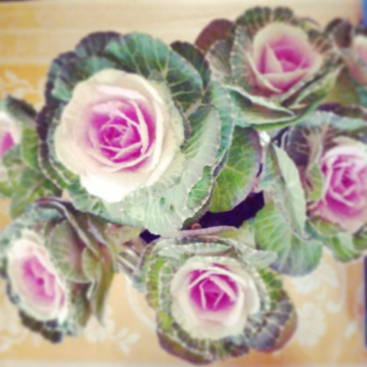 Cabbage-patch roses, November 23, 2013