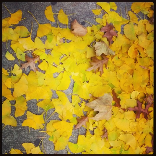 Sidewalk drift of gingko leaves, November 24, 2013