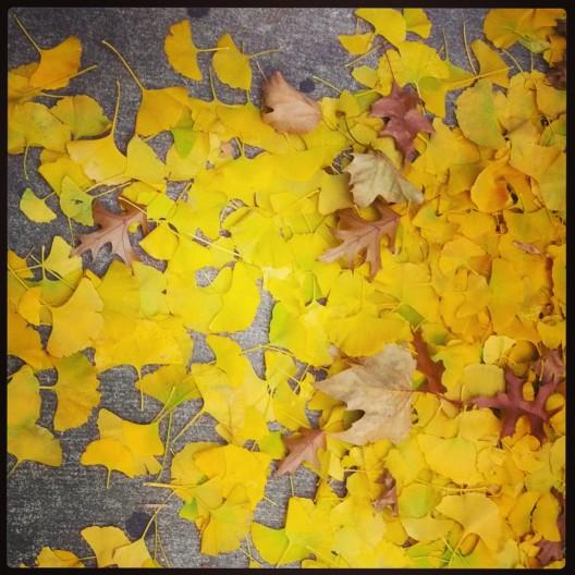 Sidewalk drift of gingko leaves, November 24, 2013