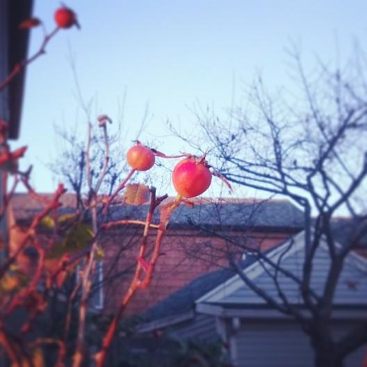 Rose hips, December 26, 2013