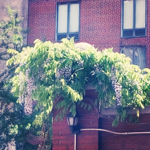 Wisteria fountain, May 13, 2014