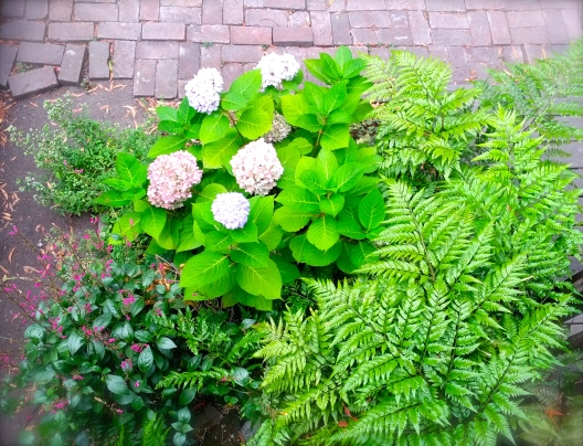 Ferns and hydrangea, July 18, 2014