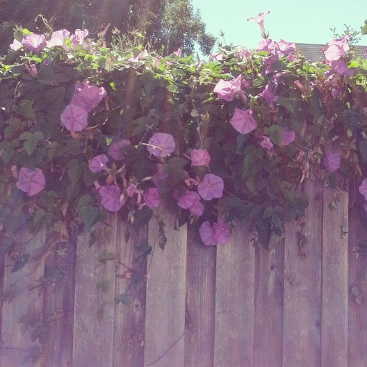 Morning glories spilling over fence, July 23, 2014