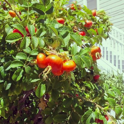 Hippie rose bush, July 25, 2014