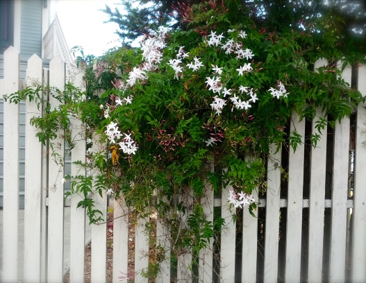Jasmine, white picket fence, July 28, 2014