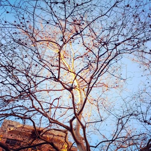 Sunlit bare branches, December 12, 2014