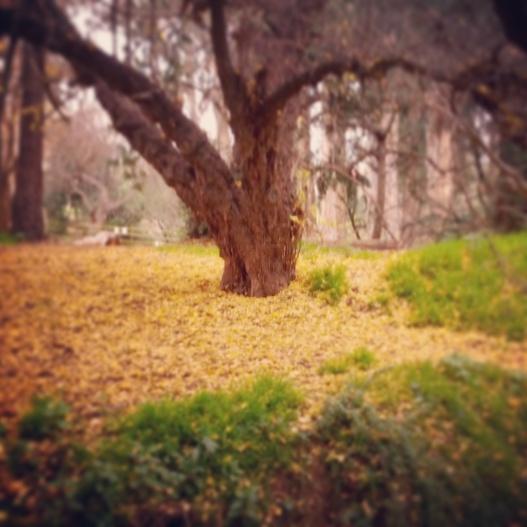 Golden leaf-fall, January 26, 2015