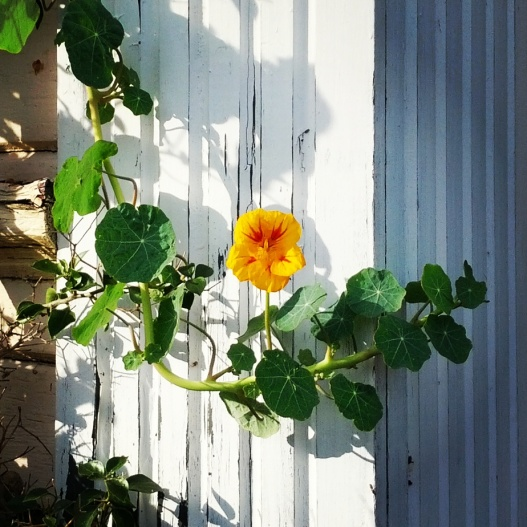 Nasturtium against weathered white paint, January 28, 2015