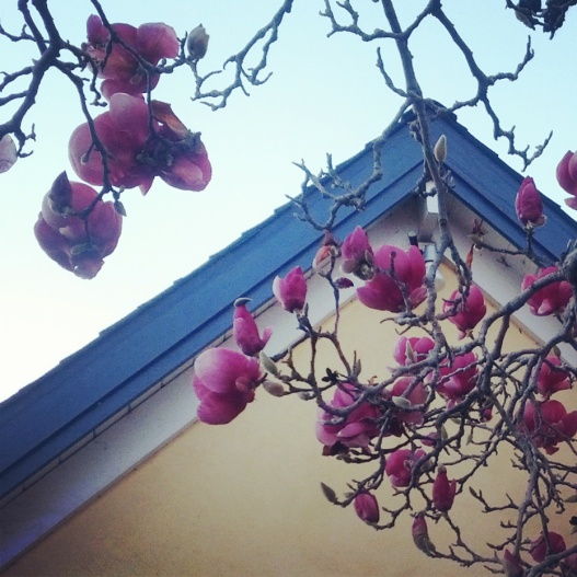 Pink magnolias on yellow, January 30, 2015