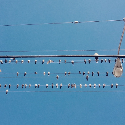 Birds on wires, January 31, 2015