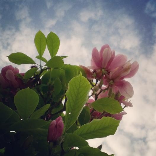 Pink magnolias, February 5, 2015