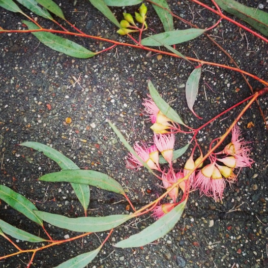 Eucalyptus branch with blossoms, leaves, and seed pods, February 6, 2015