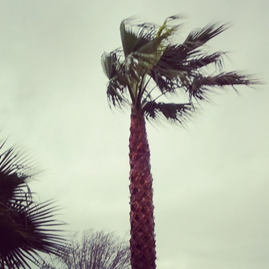 Wind-stretched palm tree, February 6, 2015