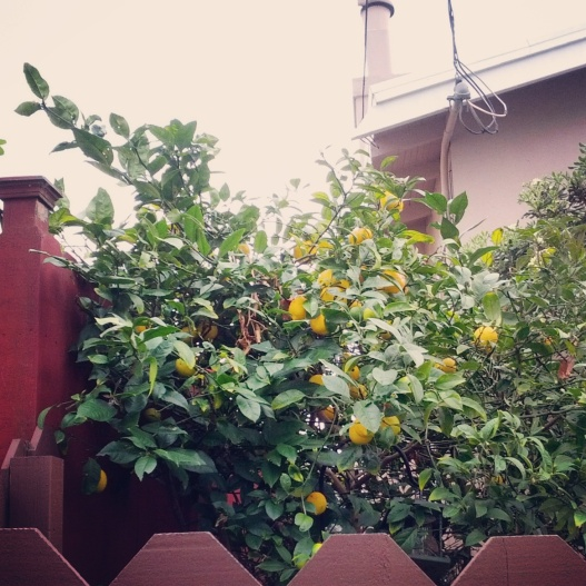 Lemon tree behind a fence, March 13, 2015