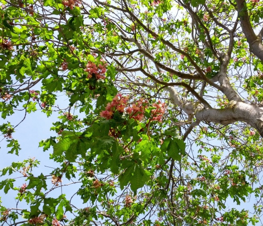 Horse chestnut blossom heaven, March 23, 2015
