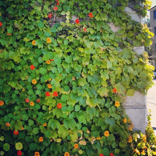 Nasturtium wall, April 28, 2015