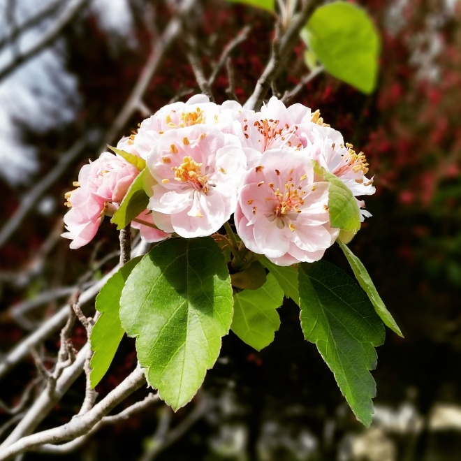 Cherry blossom cluster, May 1, 2015