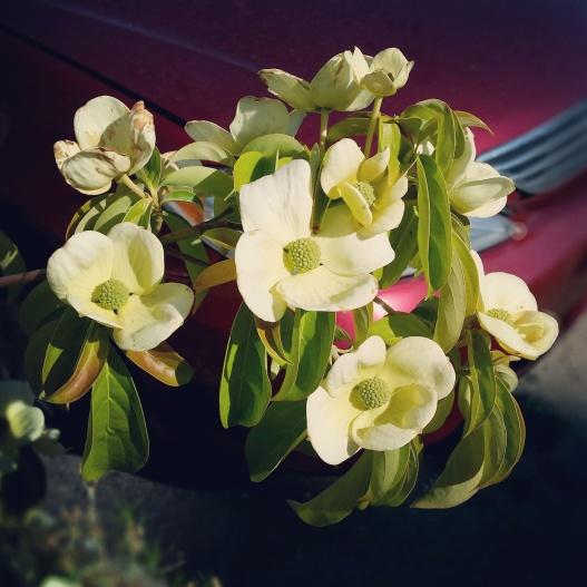 Dogwood blossoms, May 15, 2015