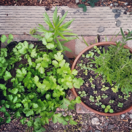 Herb garden, June 3, 2015