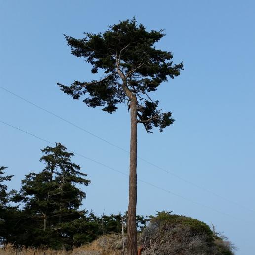 Sentinel tree, July 10, 2015