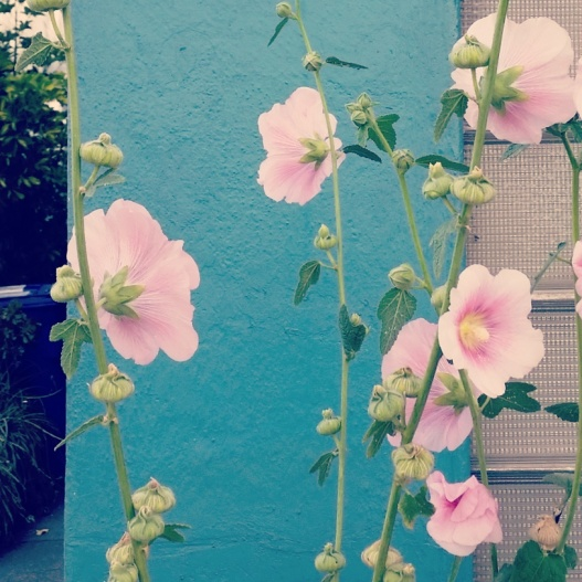 Hollyhocks against turquoise wall, July 17, 2015