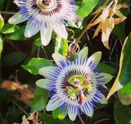 Passion flowers, August 27, 2015