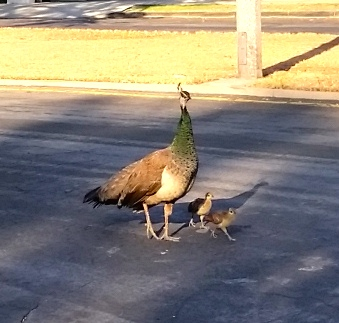 Peacock and offspring, September 5, 2015