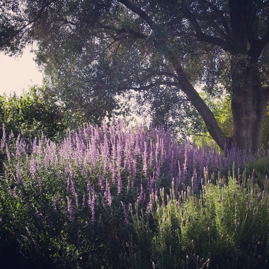Lavender in partial shade, October 1, 2015