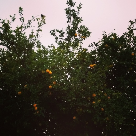 Orange tree, 5:00 PM November 6, 2015