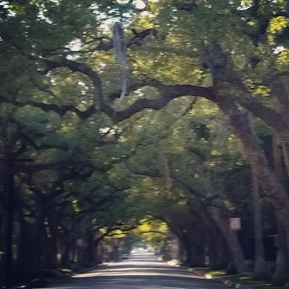Tree tunnel on San Pasqual St., November 8, 2015