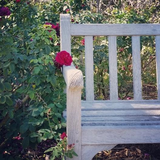 Rose blossom, bench, November 12, 2015