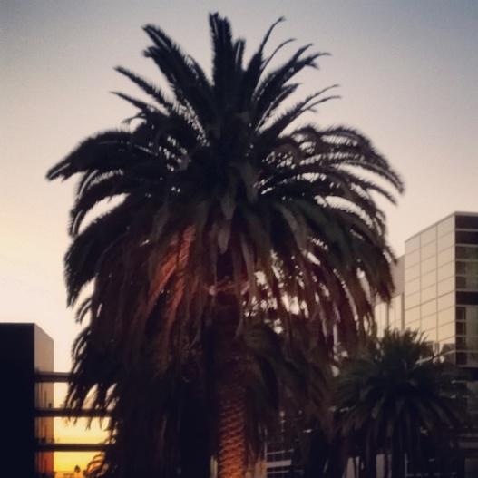 Palm trees, golden dusk, 5:00 PM November 13, 2015
